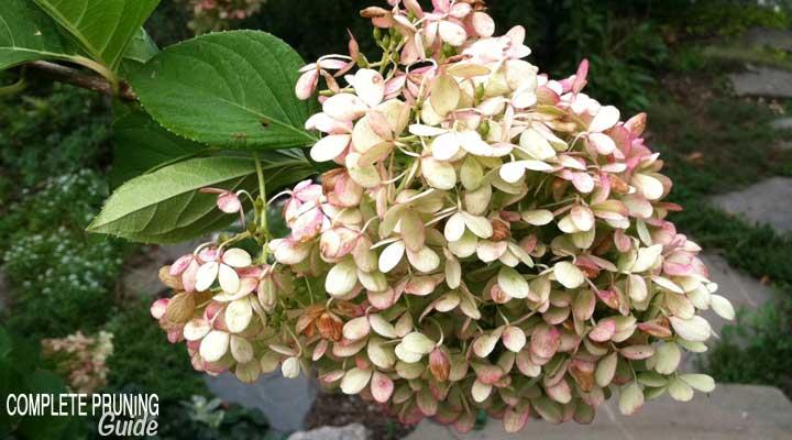 pruning panicled hydrangeas